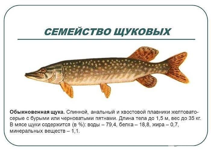 Щука - главный пресноводный хищник: описание, среда обитания и нерест щуки