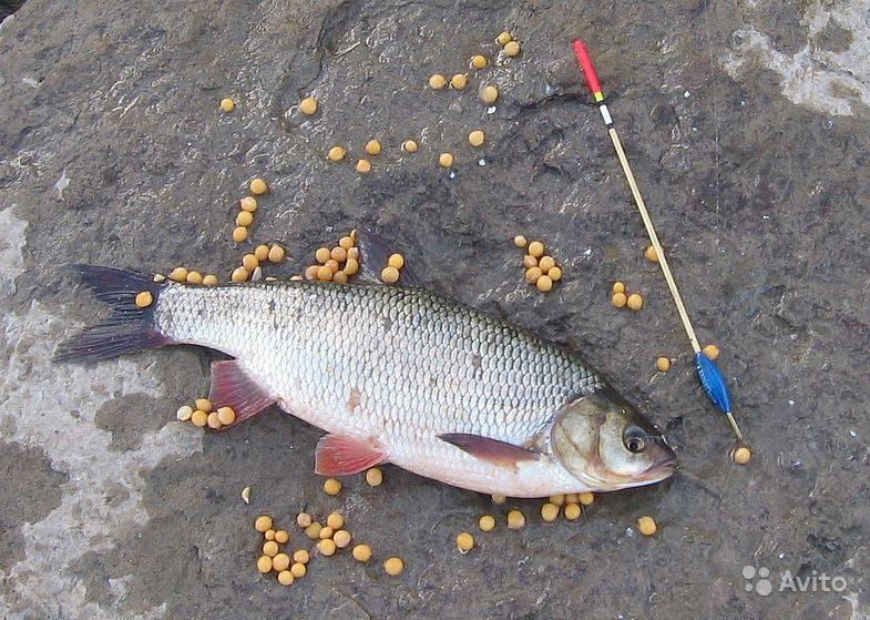 Всё о рыбалке на язя весной, летом, осенью и зимой