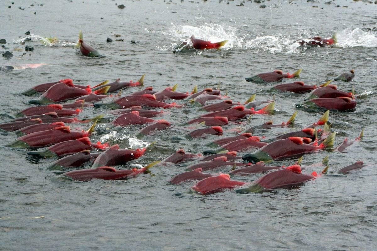Нерест морских и пресноводных рыб
