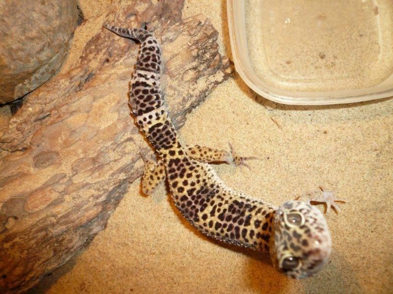 Пятнистый леопардовый эублефар. содержание и уход за ящерицей