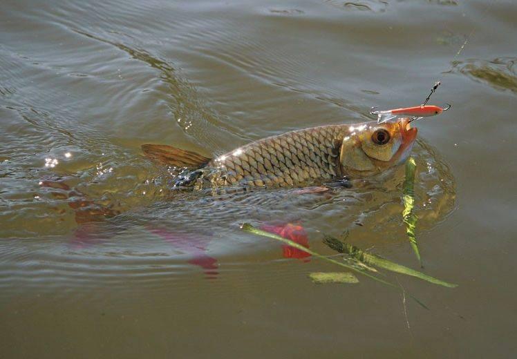 На что и как ловить красноперку? – суперулов – интернет-портал о рыбалке