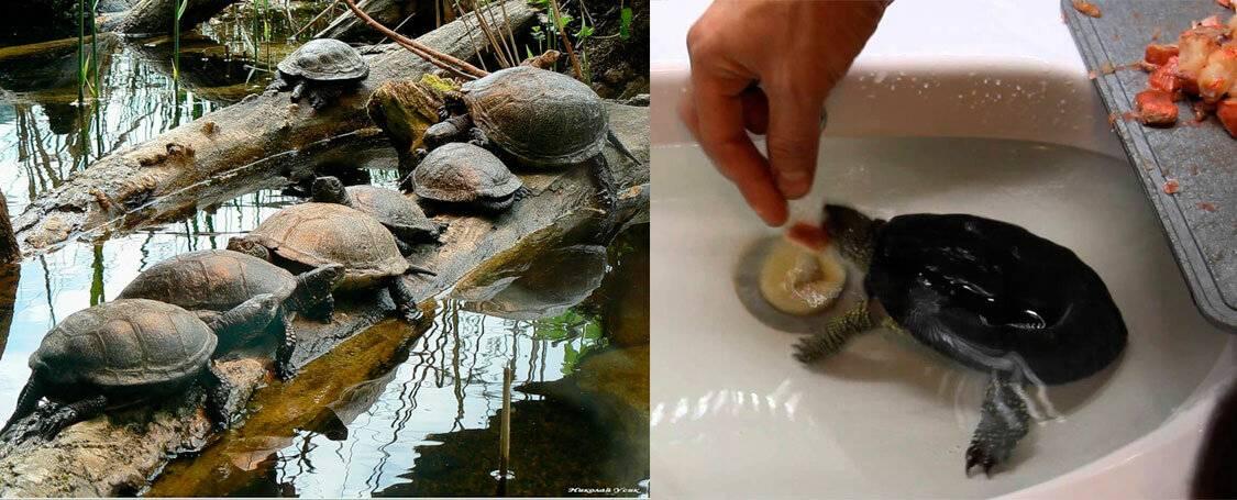 Болотная черепаха – уход и содержание в домашних условиях