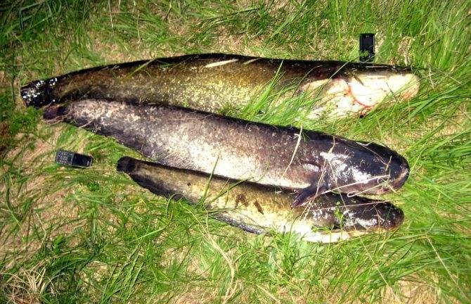 Рыба сом: описание, как выглядит, на что ловить   клёвая рыбалка
