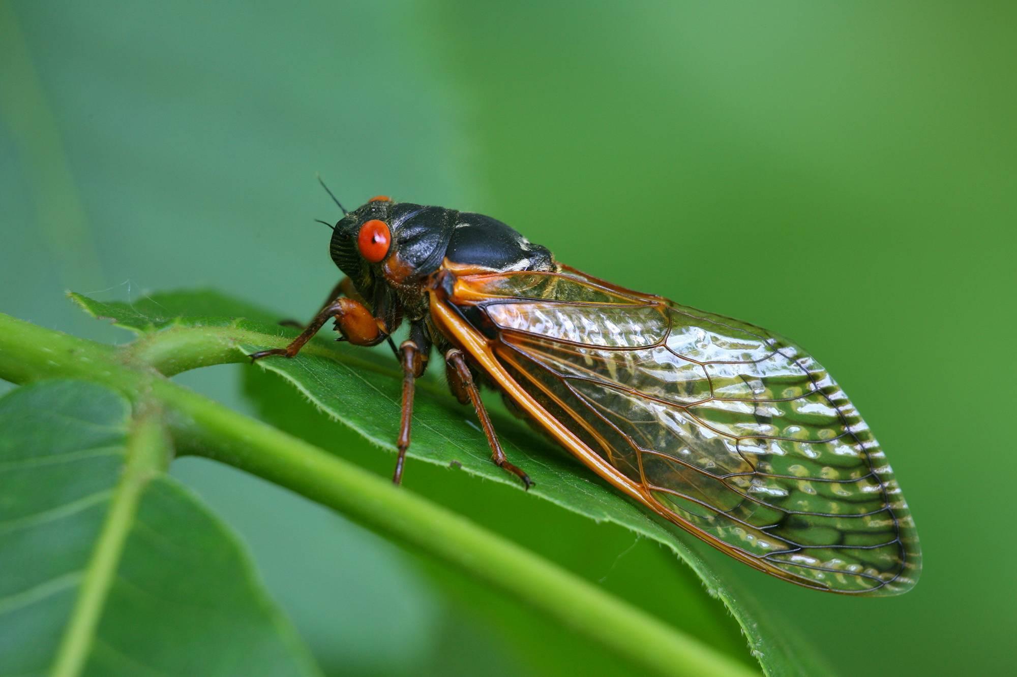 Цикада насекомое. Описание, особенности, виды, образ жизни и среда обитания цикады