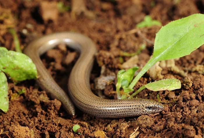 Безногие ящерицы и змеи с ногами