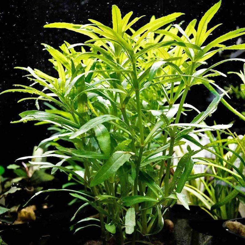 Аквариумное растение октопус