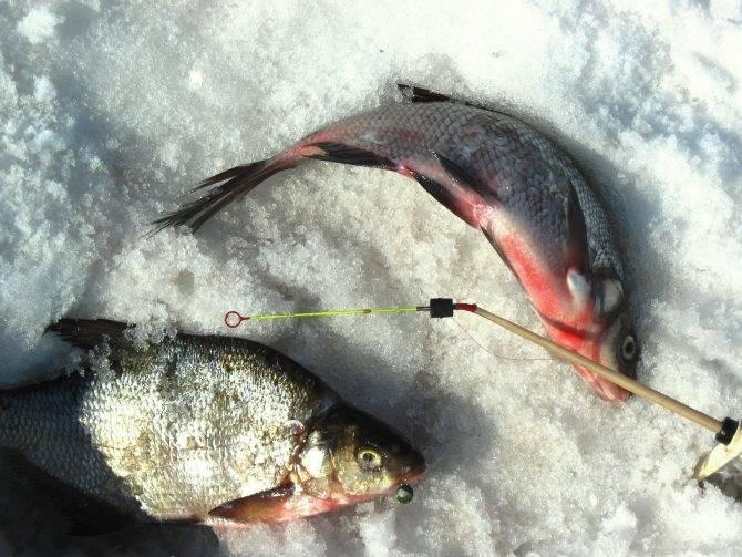 Ловля леща зимой: снасти, приманки и тактика