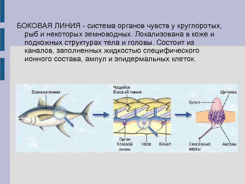 ✅ слух у рыб, что является органом слуха у рыбы - fishyarm.ru