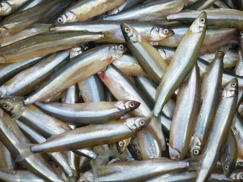 Корюшка - описание и фото рыбы, где водится, способы ловли снетка