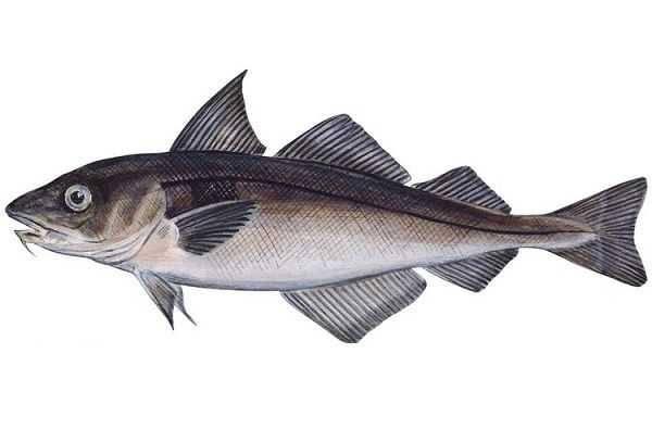 Чем полезна рыба пикша