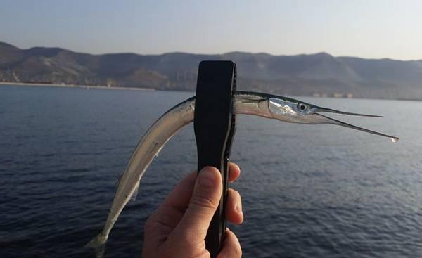 Рыба сарган черноморский: характеристика, поведение, способы ловли