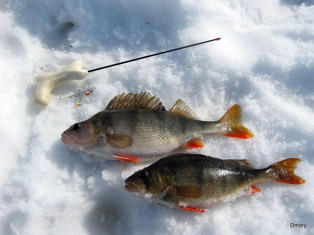 Ловля окуня весной на спиннинг: с берега на озере и реке
