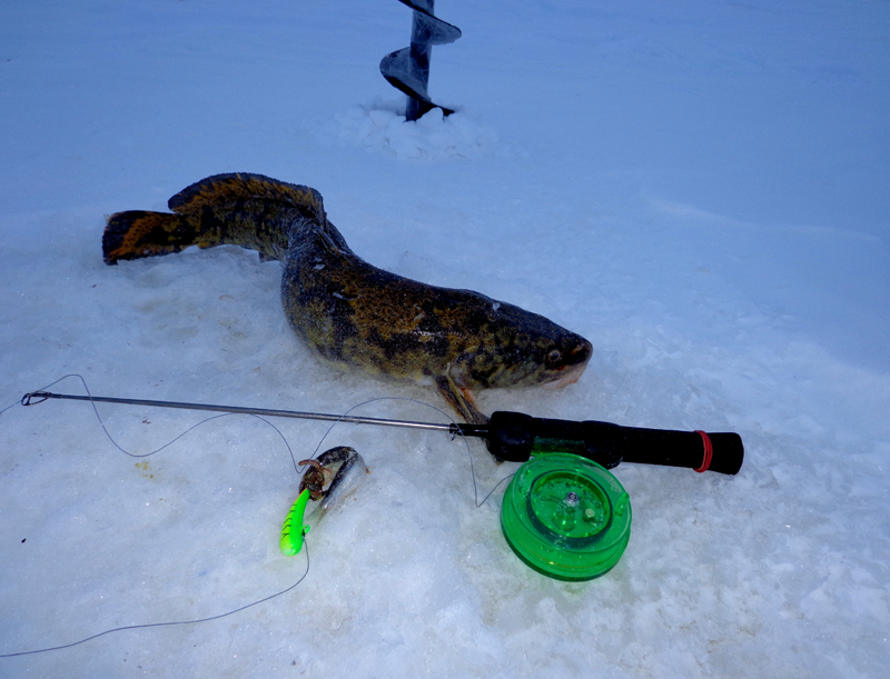 Ловля налима на жерлицы в зимний период