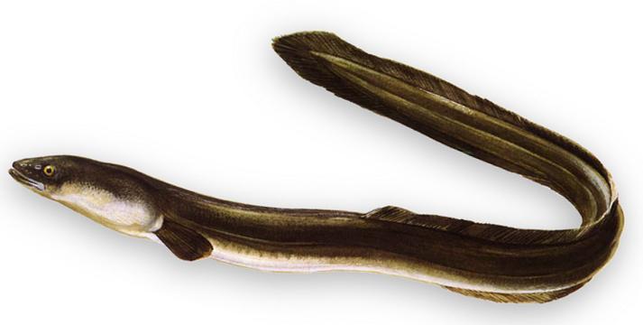 Угорь рыба польза и вред. что такое угорь? | здоровье человека