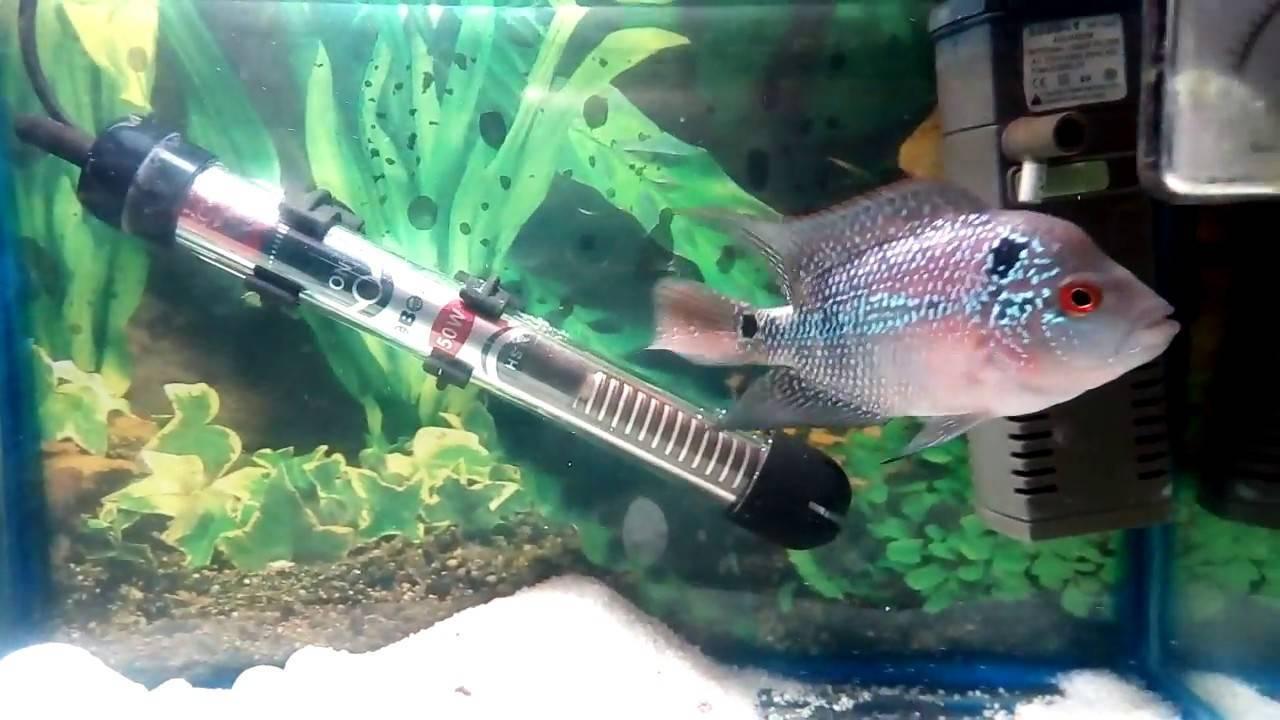 Рыбка фловер хорн - фото и содержание этой цихлиды, её разновидности, кормление и уход за цихлазомой