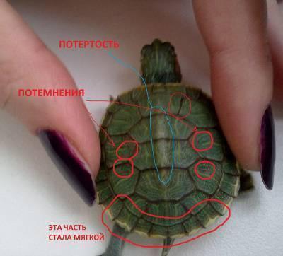 Определяем пол черепах. как определить пол красноухой черепахи маленькой или большой как узнать пол красноухой черепахи