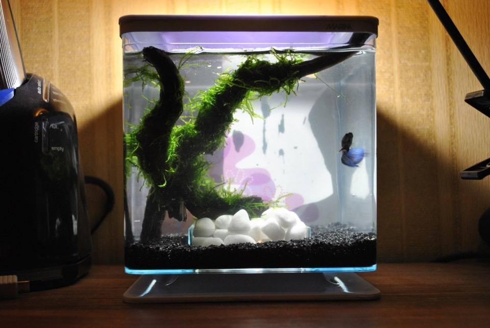 Рыбки петушки - содержание и уход в мини аквариуме