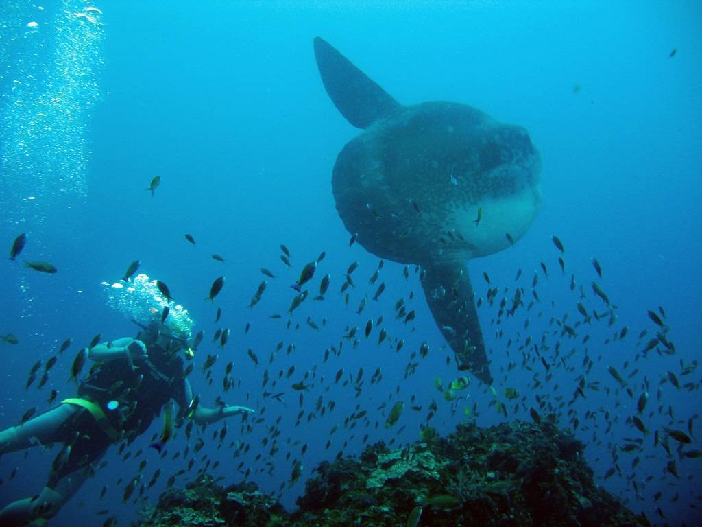 Вомеры или селены – необычные тропические рыбы