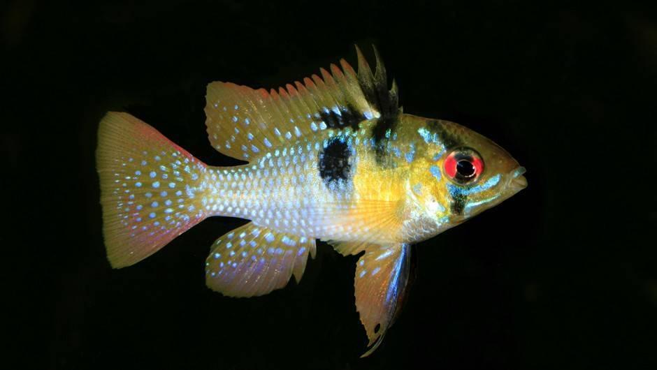 Рыбка бабочка (апистограмма рамирези) в аквариуме