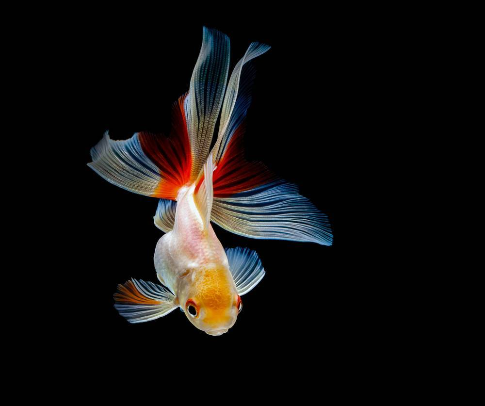 Вуалехвост — популярная золотая рыбка.