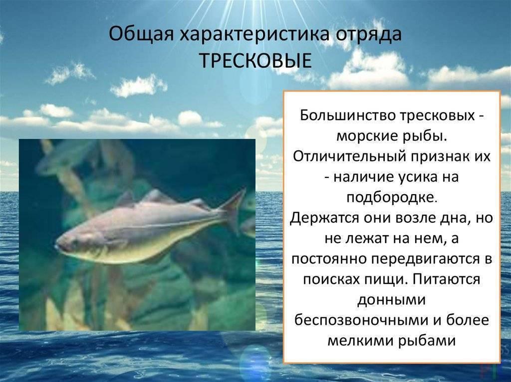 Виды рыб семейства тресковых, их описание и особенности