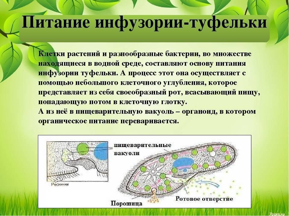 Инфузория туфелька: строение, форма тела, обитание - yachist.ru   medded.ru