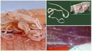 Могут ли быть глисты в горбуше, кете, семге и другой красной рыбе?