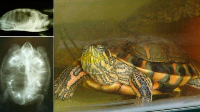 Возможные болезни красноухих черепах, общие симптомы и лечение - твой питомец