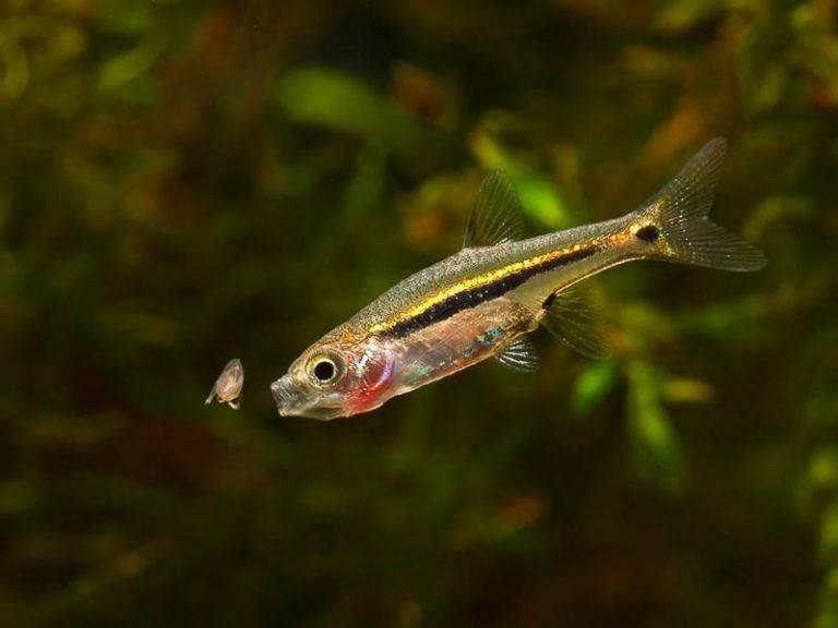 Как живёт аквариумная клинопятнистая рыбка расбора-гетероморфа