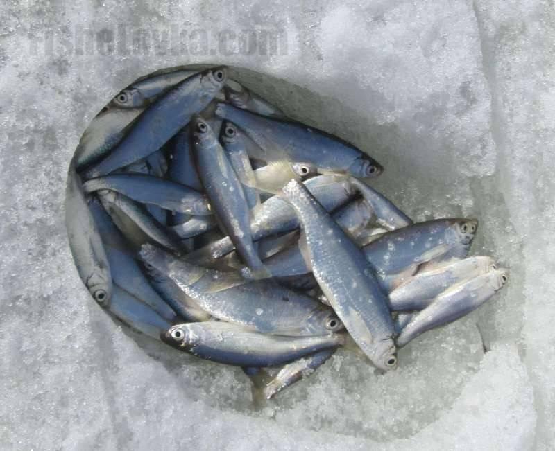 Ловля подуста летом, осенью и зимой - всё о рыбалке - медиаплатформа миртесен