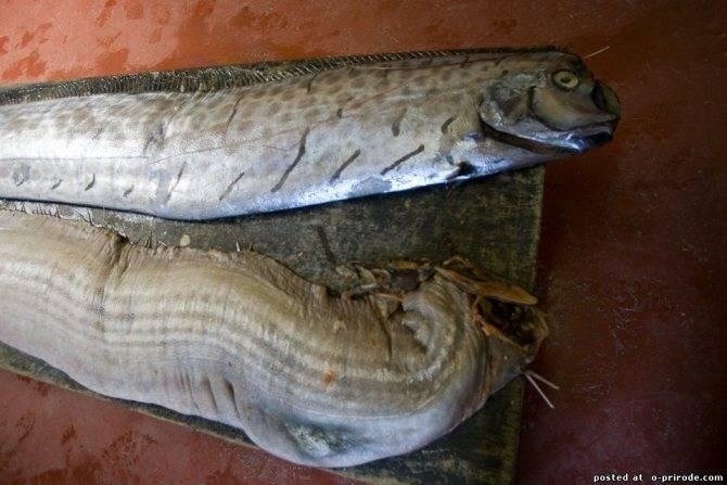 Распространенные представители рыбы без чешуи
