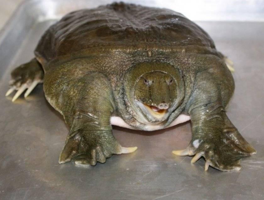 Черепаха китайский трионикс или дальневосточная черепаха или мягкотелая черепаха: описание, содержание, питание и размножение