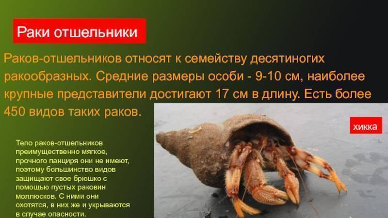 Рак отшельник. образ жизни и среда обитания рака отшельника. кто такой рак-отшельник что едят раки отшельники морские