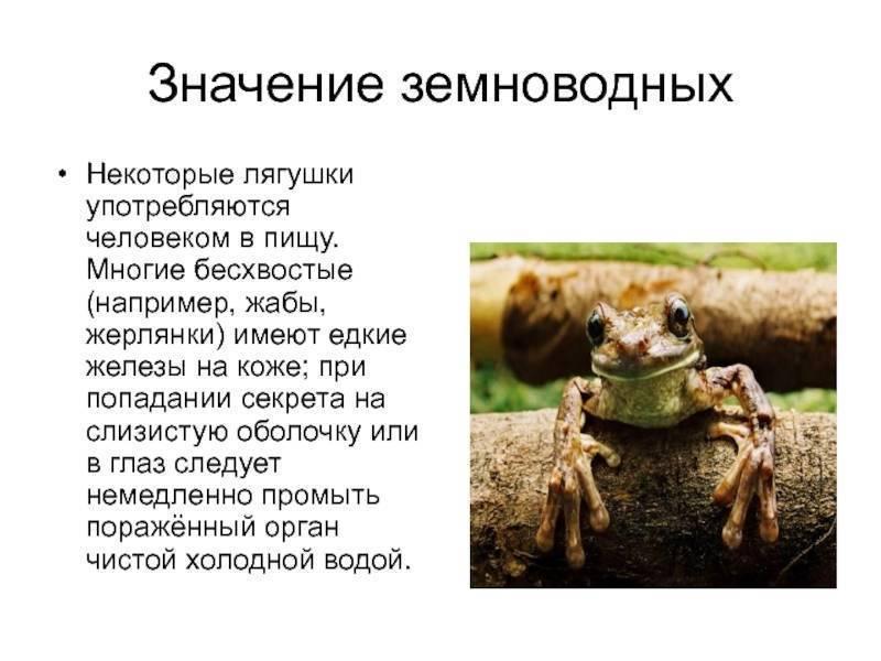 Лягушка жерлянка, описание и особенности содержания жабы