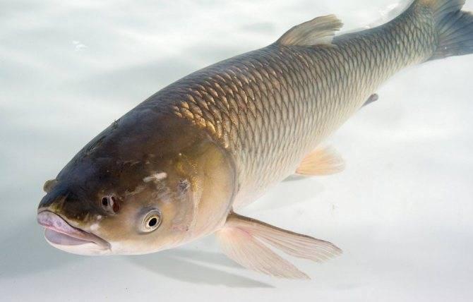 Рыбалка на амуре: особенности ловли весной, зимой или летом, какая рыба водится