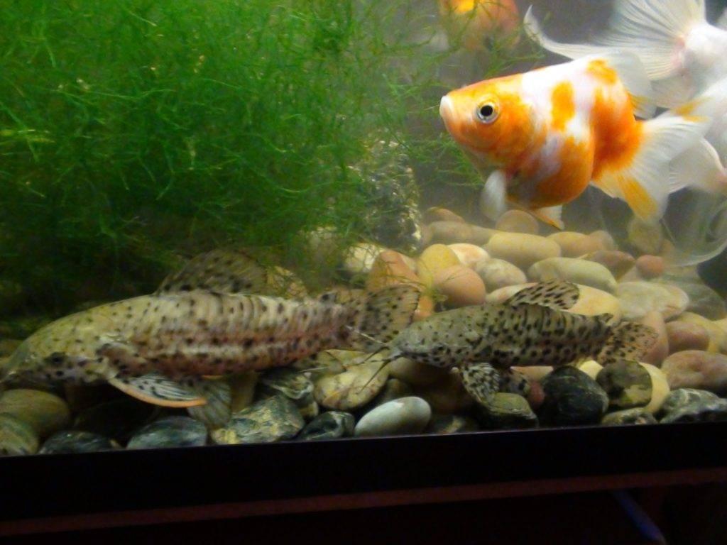 Рыбка таракатум: как ухаживать и содержать, размножение, кормление, отличия