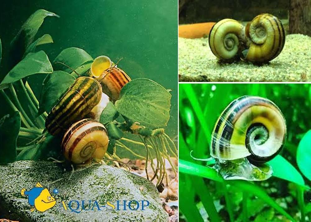 Аквариумная улитка: все о моллюске с фото и видео   pet7