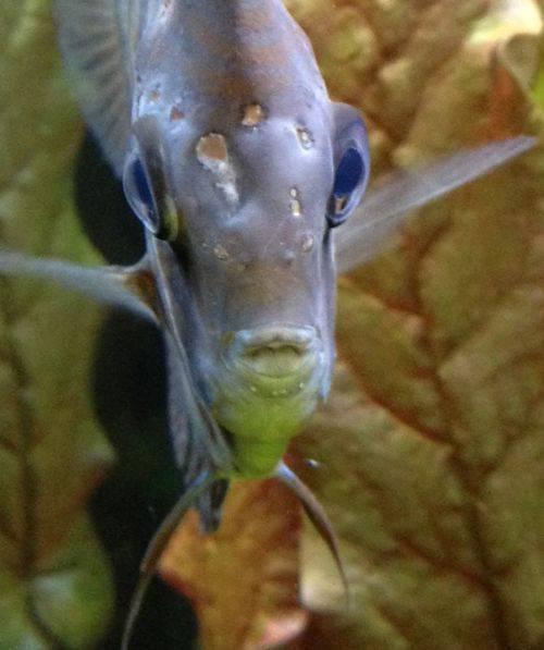 Как и чем лечить плавниковую гниль у аквариумных рыбок