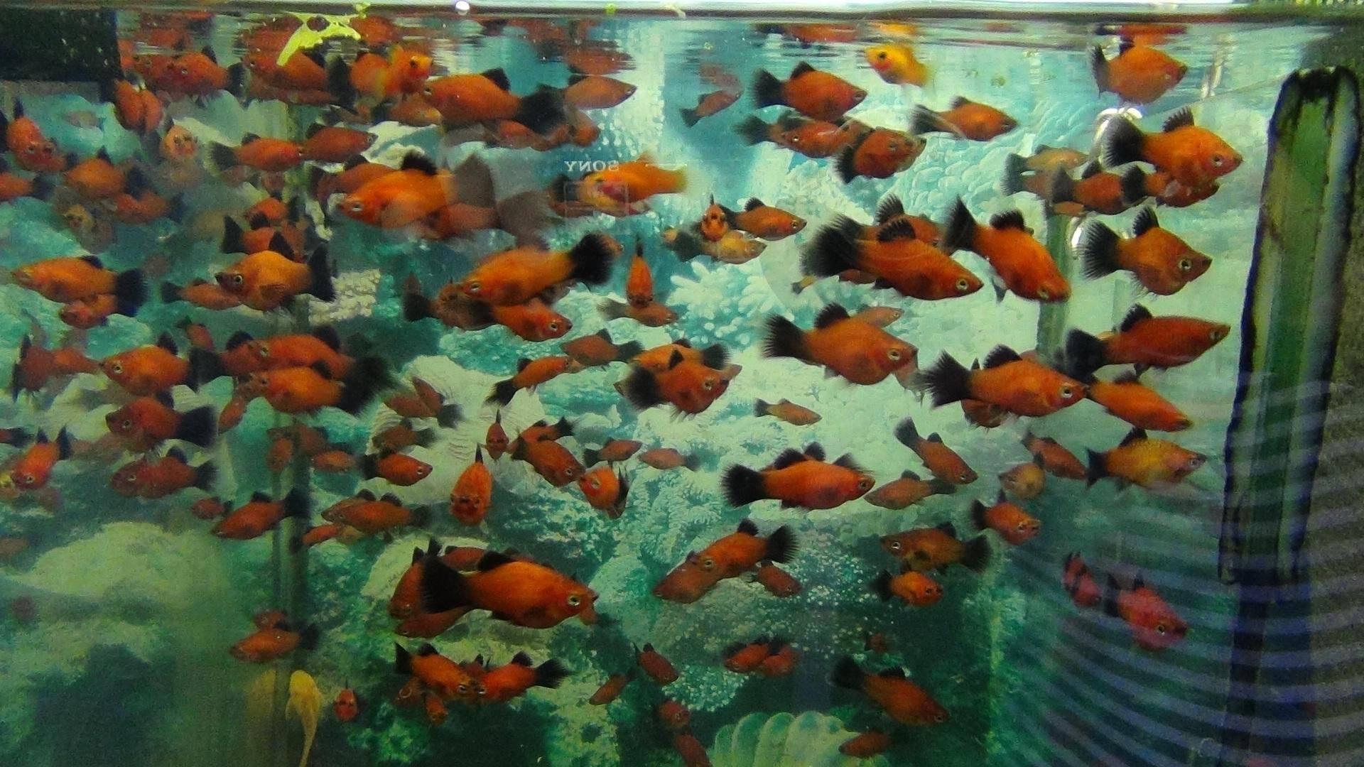 Бизнес на разведении аквариумных рыбок, вложения: от 229000 руб.