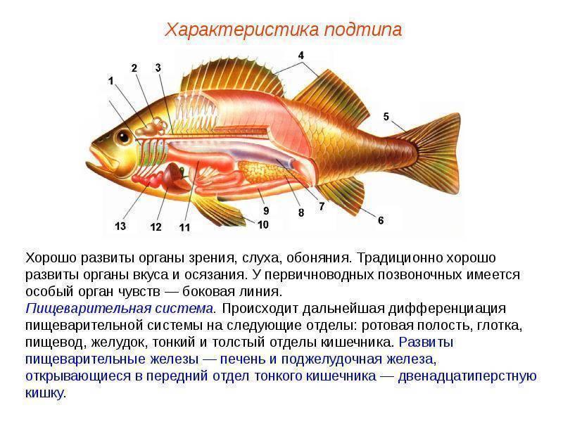 ✅ есть ли мозг у рыбы: строение и особенности. какой у рыбы iq? есть ли у рыб слух - sundaria.su