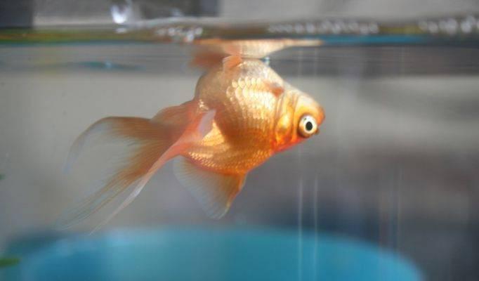 Какой корм для золотых рыбок выбрать и как их правильно кормить