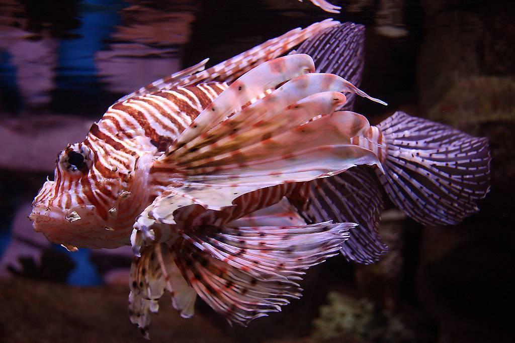 Рыба-лев. фото подводного царя