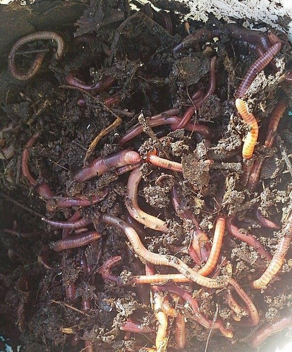Нереис червь. образ жизни и среда обитания червя нереиса