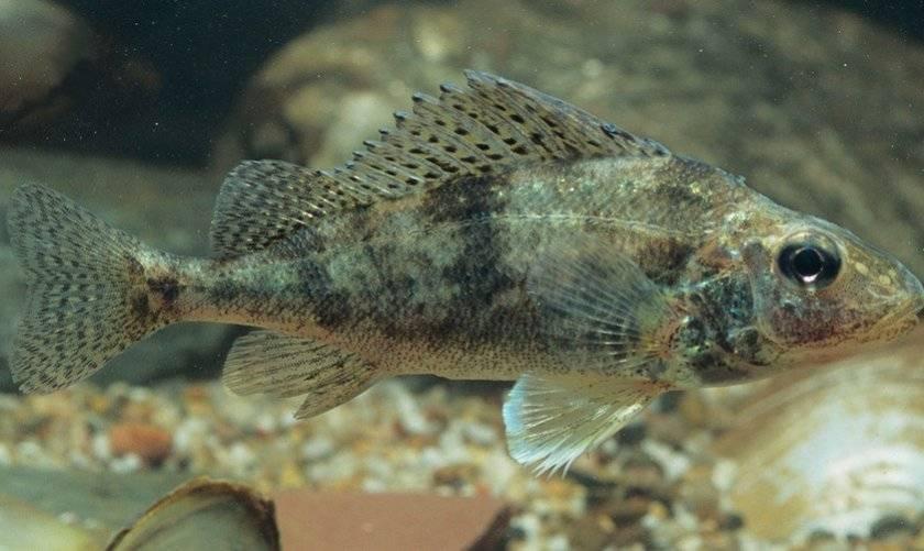 Ёрш - описание рыбы, фото, размеры, питание ерша, способы ловли