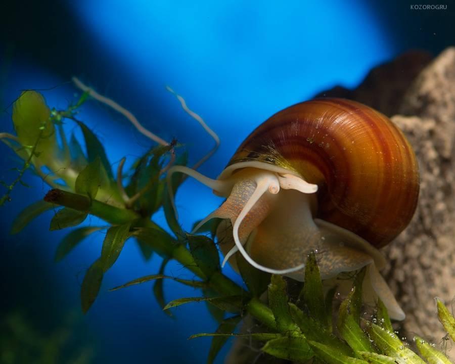 Улитки неретины — обитатели аквариума