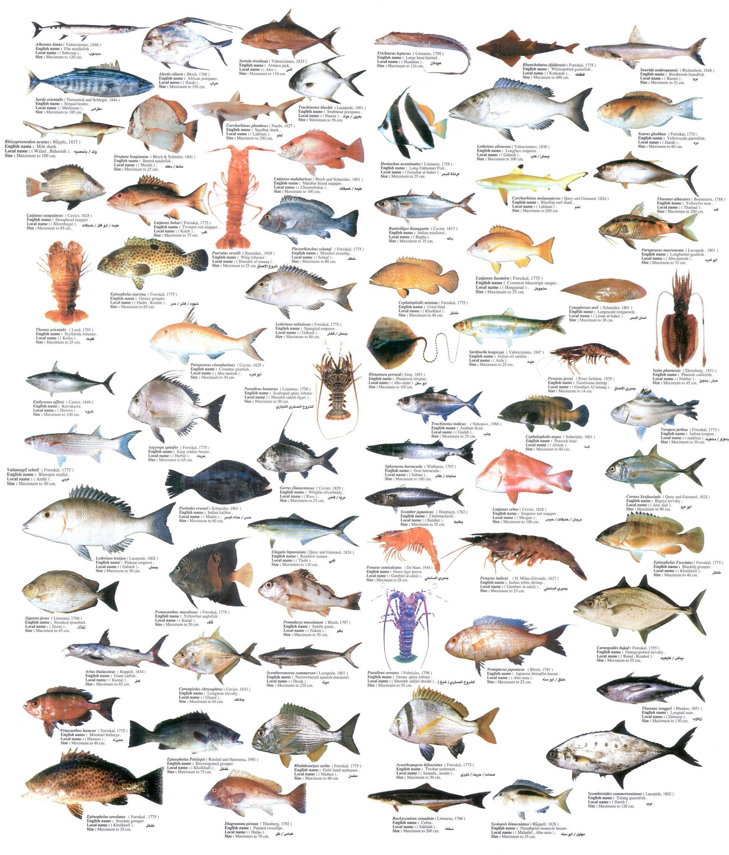 Диетические сорта рыбы: список с названиями морских и речных нежирных видов