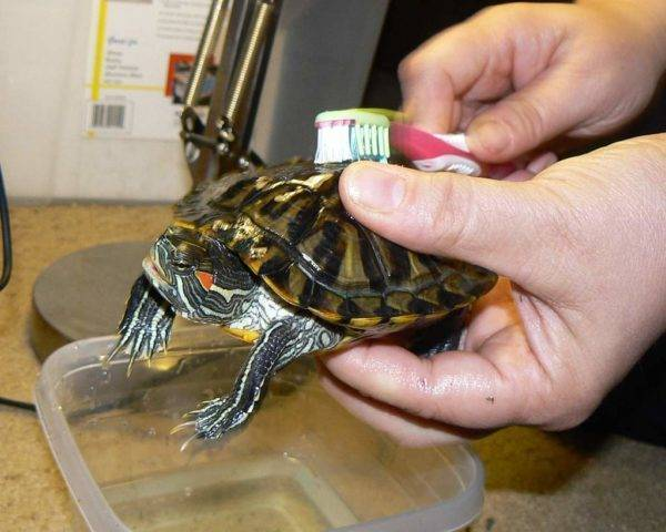 О содержании красноухой черепахи, которую заводят практически все