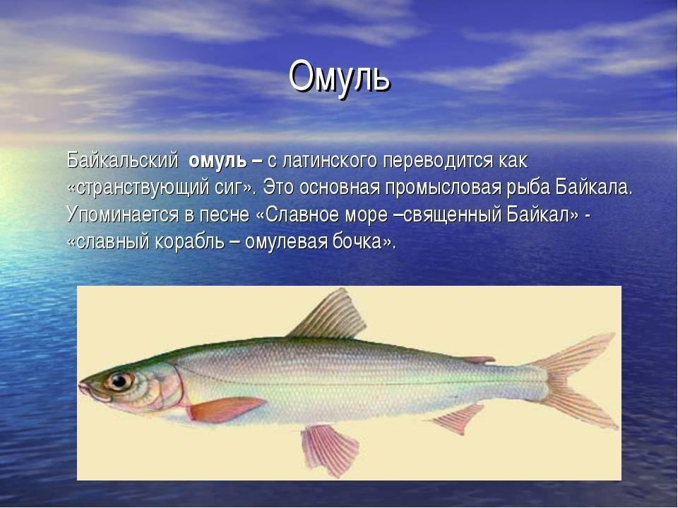 Морской сиг — ловись рыбка