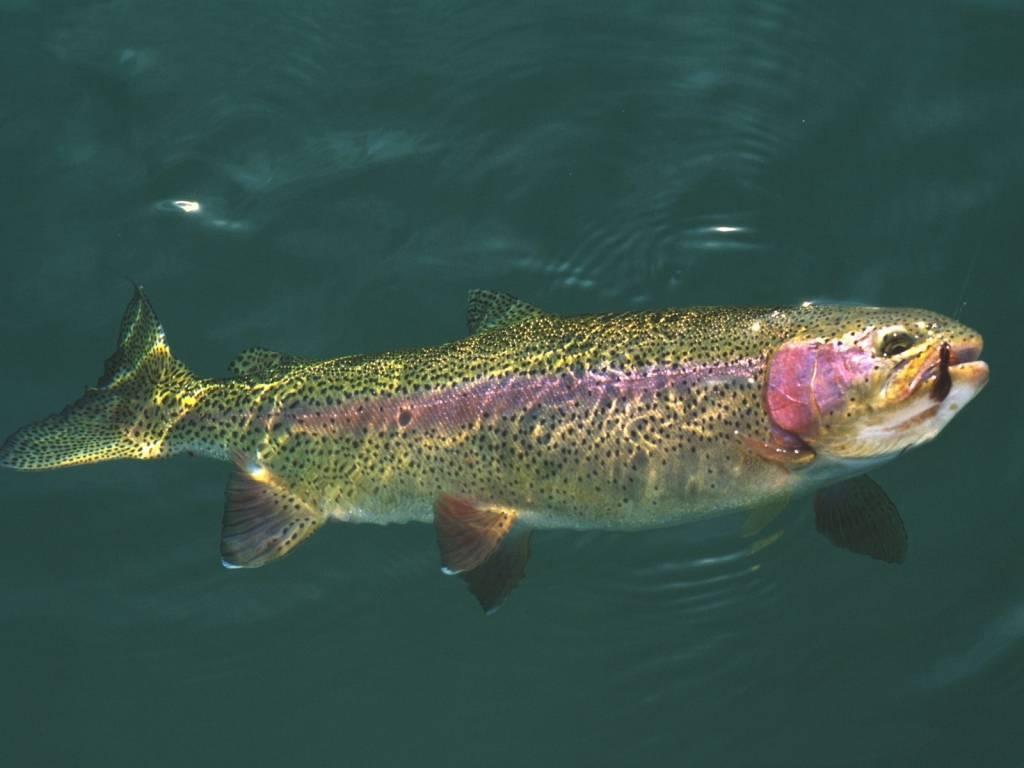 Рыба форель: виды, описание, места обитания