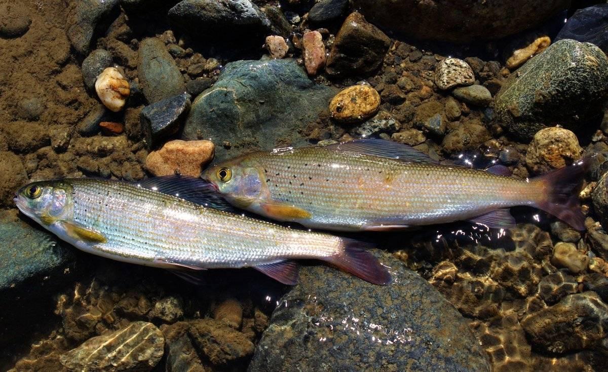 Летучая рыба. описание, особенности, образ жизни и среда обитания летучей рыбы   животный мир